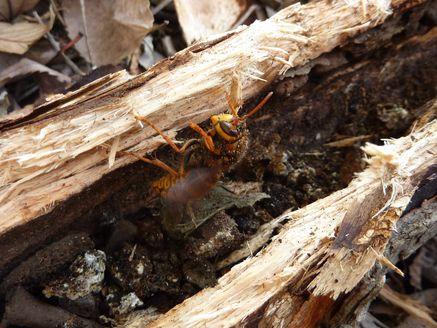 越冬キイロスズメバチ