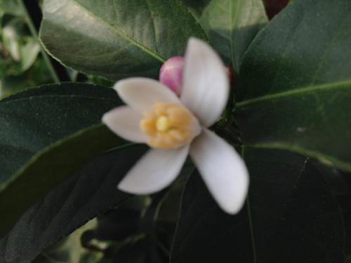 アクアポニックスで育てたレモンの花