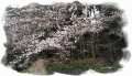 裏山の山桜