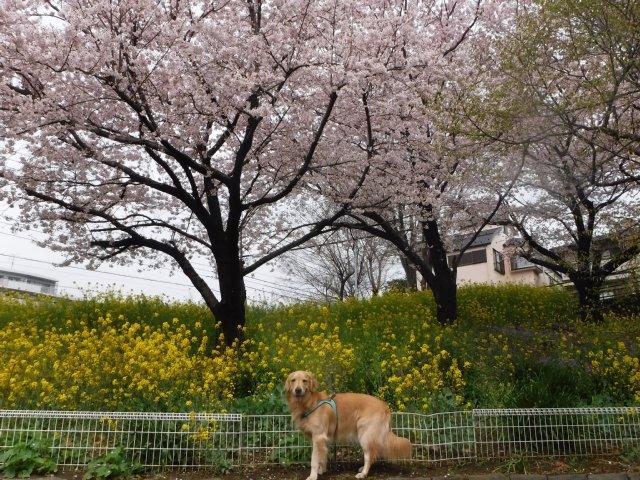 2016-4-4東高根森林公園 桜 001