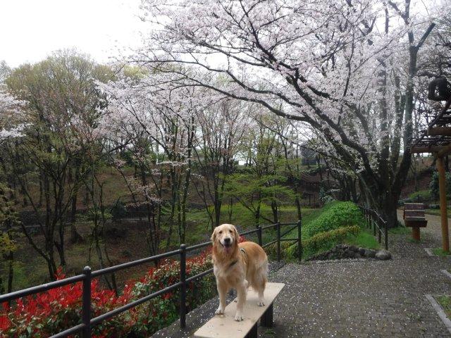 2016-4-4東高根森林公園 桜 002