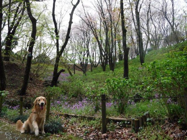 2016-4-4東高根森林公園 桜 005
