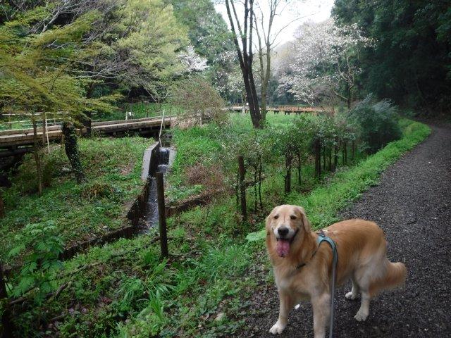 2016-4-4東高根森林公園 桜 006