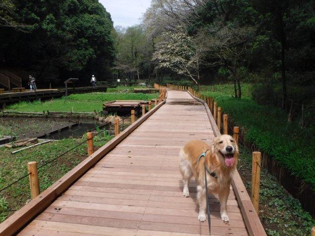 2016-4-4東高根森林公園 桜 008