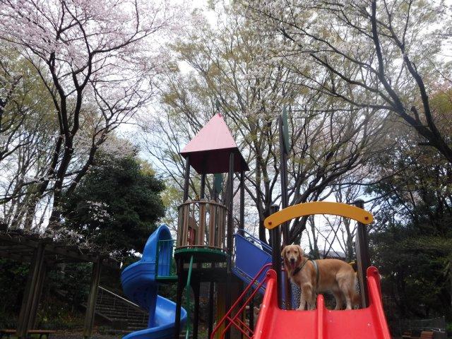 2016-4-4東高根森林公園 桜 012