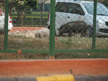 インド 豚 駐車場