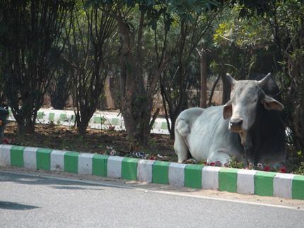 インド 牛 道路