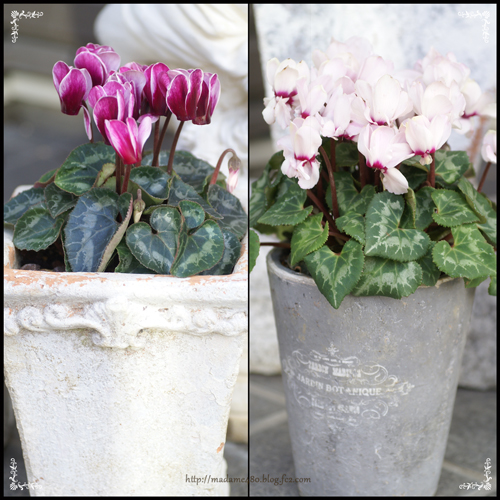 ガーデンシクラメン2種2016web用