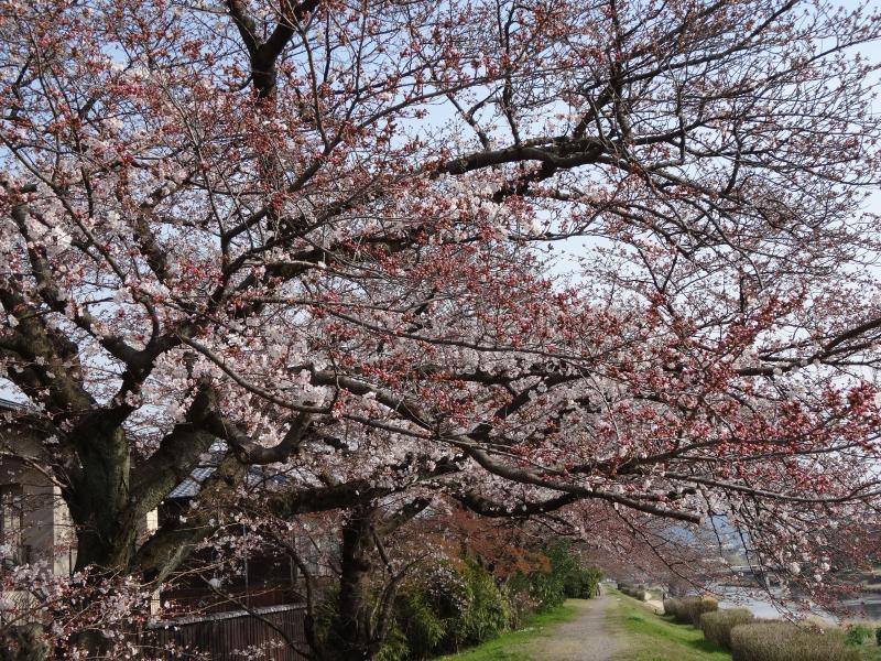 賀茂川堤2