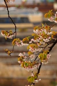 葉桜だよ・・・(´・ω・')