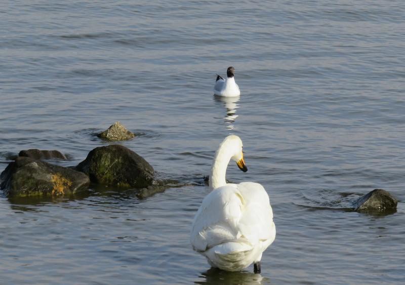 白鳥&ユリカモメ