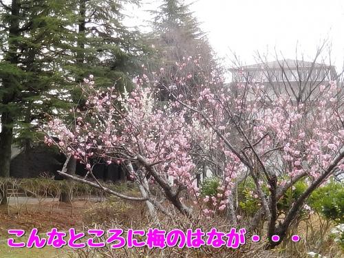 梅の花が・・