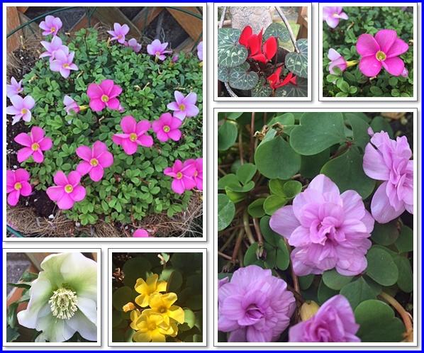 オキザリスの花たち