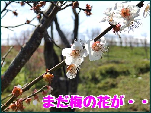 まだ梅の花が