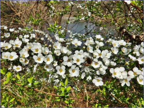 可愛い白い花ユキヤナギ
