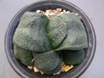 gagyu-gunbai151226