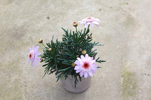 マーガレット ぽぽたん パステルピンク 育種 生産 販売 松原園芸 オリジナル品種