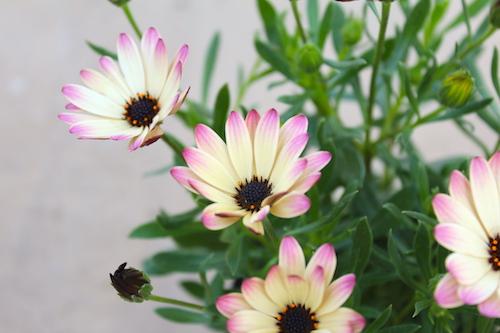オステオスペルマム Osteospermum オリジナル品種 パティエ ラズベリーパフェ 育種 生産 販売 松原園芸