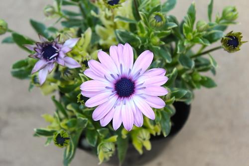 オステオスペルマム Osteospermum オリジナル品種 パティエ ハーフクイーン 育種 生産 販売 松原園芸