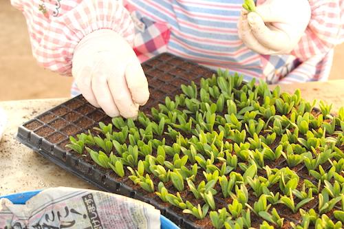 カリブラコア ティエルノ 挿し芽 プラグ苗 育種 生産 販売 松原園芸 オリジナル品種