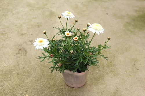 マーガレット ぽぽたん クリーム 育種 生産 販売 松原園芸 オリジナル品種