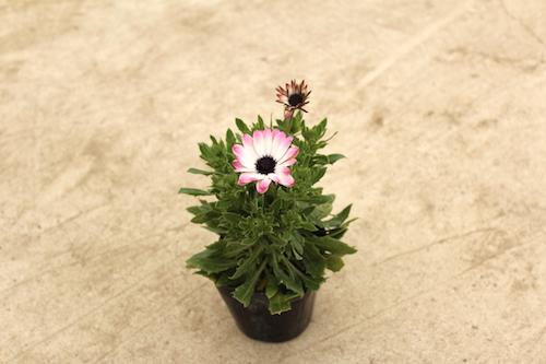 オステオスペルマム Osteospermum オリジナル品種 育種 生産 販売 松原園芸