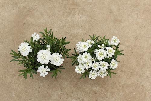 イベリス 大輪 オリジナル品種 育種 生産 販売 松原園芸