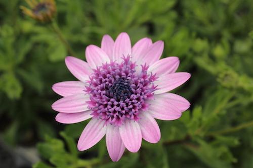 八重咲き オステオスペルマム オリジナル品種 育種 生産 販売 松原園芸