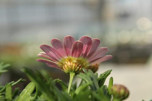 マーガレット さくらほっぺ オリジナル品種 育種 生産 販売 松原園芸