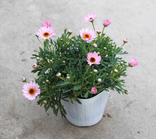 マーガレット 試験品種 受け咲き  オリジナル品種 育種 生産 販売 松原園芸