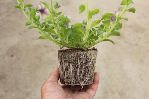 ペチュニア 灌水方法 根の張らせ方 育種 生産 販売 松原園芸 オリジナル品種