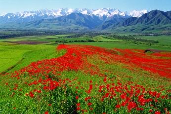 ケシの草原