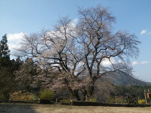 千女房の山桜-2