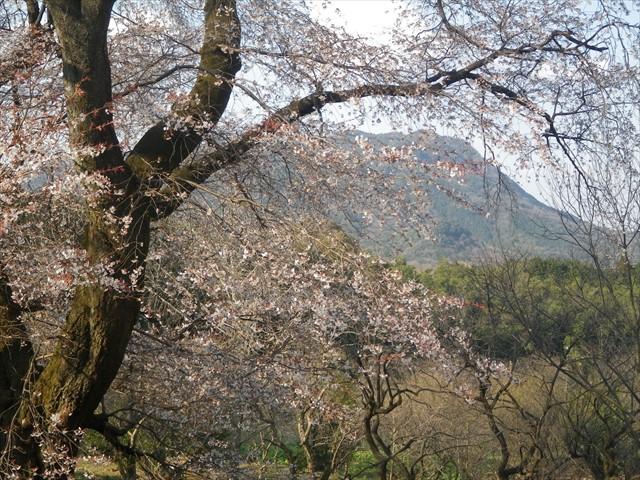 千女房の山桜-3
