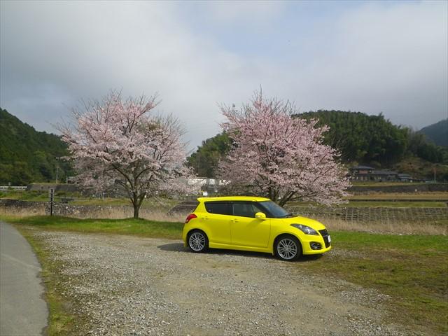 桜満開の祓川に到着