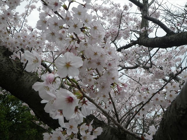 総合公園傍の桜-1