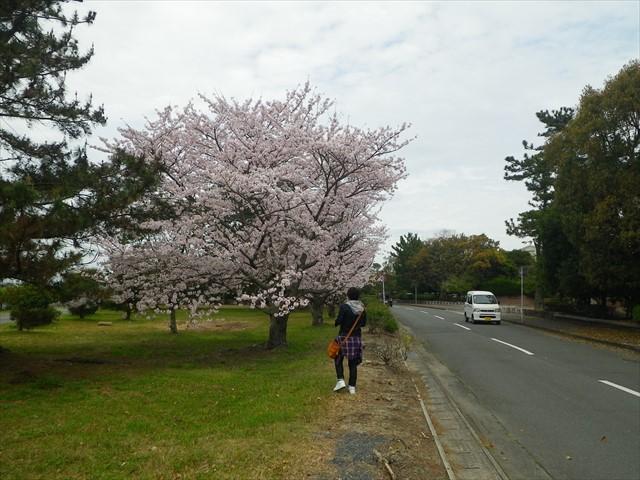 総合公園傍の桜-2