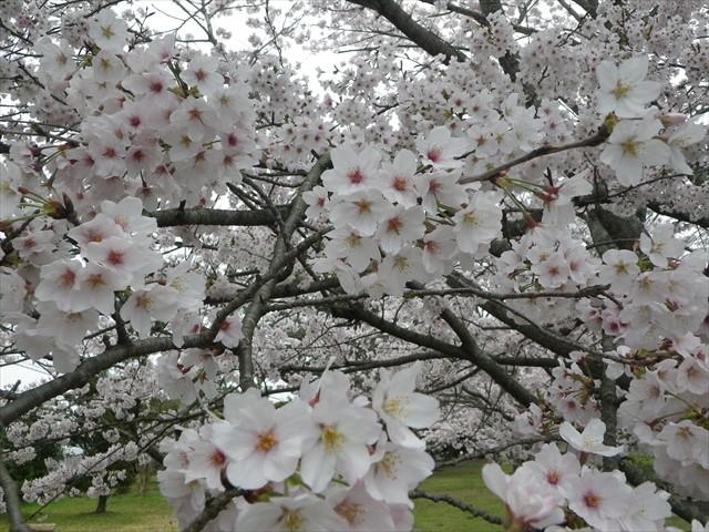 総合公園傍の桜-3