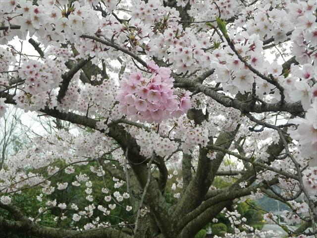 総合公園傍の桜-4
