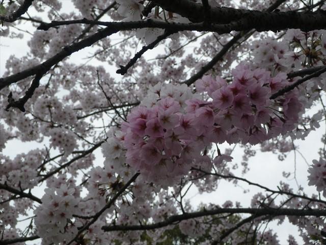 総合公園傍の桜-5