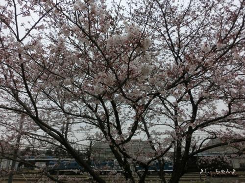 荒川土手の桜・2016_02