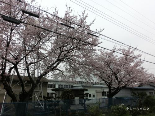荒川土手の桜・2016_05