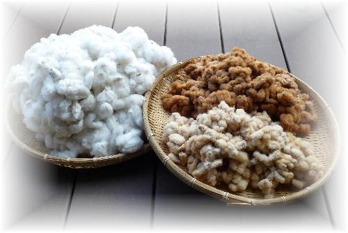 綿の収穫9