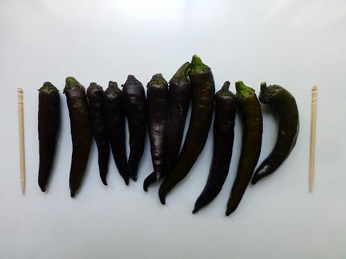 紫トウガラシ2
