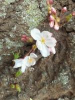 20160321 東京の桜・開花宣言日