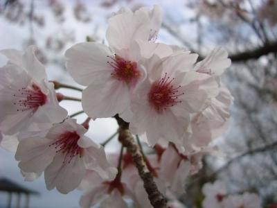 桜 2016 04 02