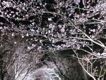 20160403_sakura001.jpg