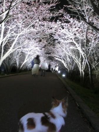 20160403_sakurasena01.jpg