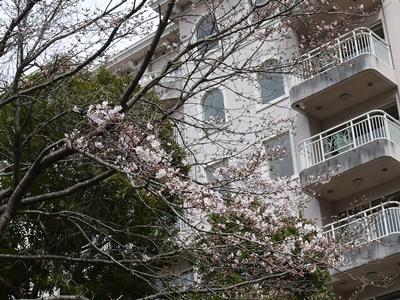 2016年3月23日 桜開花の様子