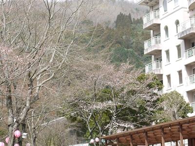 桜の開花の様子 2016年3月23日